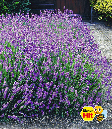 "Lavendel-Hecke ""Blau"", 9 Pflanzen"