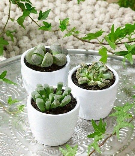 Lebende Steine - Lithops 3er-Mix,3 Pflanzen