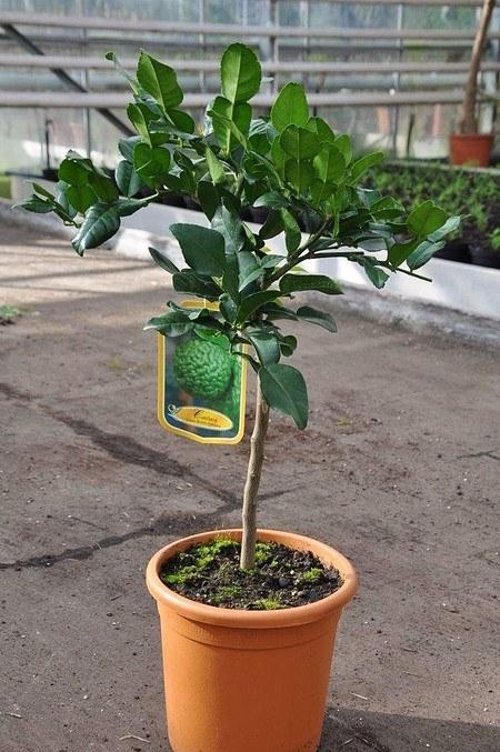 Limettenbaum (Kaffir Limette) - Citrus hystrix