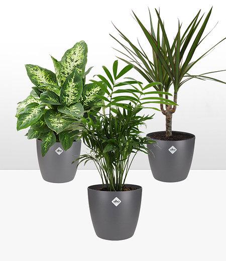 Luftreinigender Zimmerpflanzen-Mix inkl. Elho-Übertöpfe 'Grau',1 Set