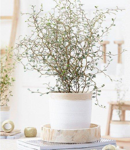 "Maori® Sophora prostrata ""Little Baby"", 1 Pflanze"