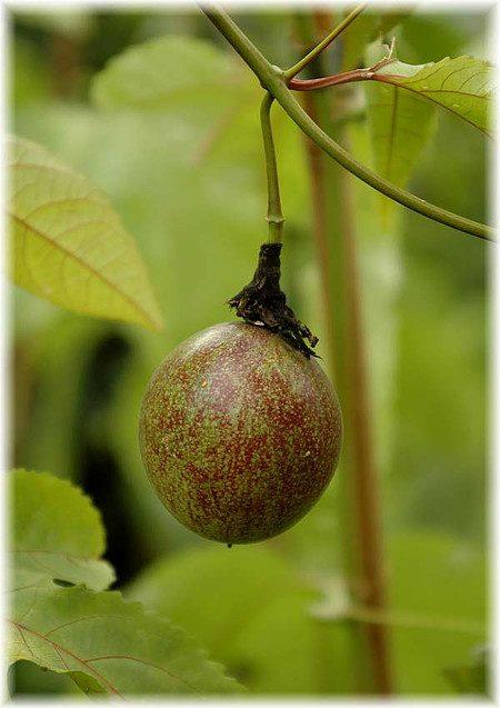 Maracuja, Passionsfrucht Passiflora edulis x colvilii