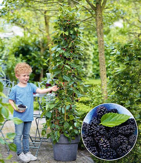 "Maulbeere ""BonBon Berry®"",1 Pflanze"