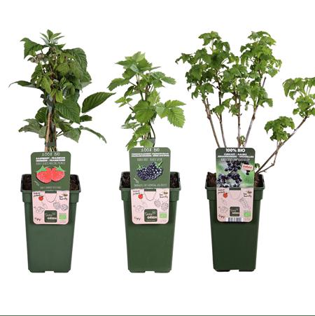 Mein schöner Garten BIO Pflanzen-Set XXL Beerenfreude