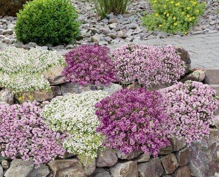 Mein schöner Garten Bodendecker-Set Thymian, 9 Pflanzen