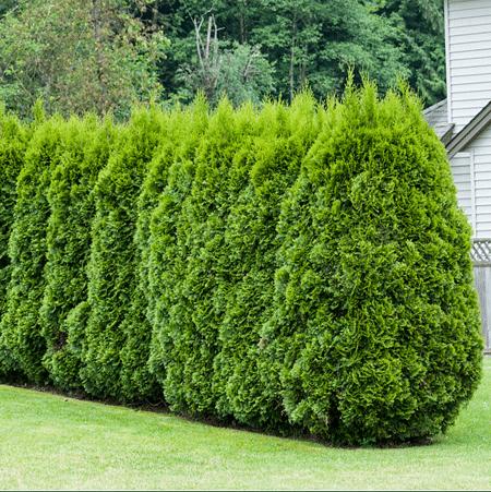Mein schöner Garten Lebensbaum-Hecke Thuja Brabant
