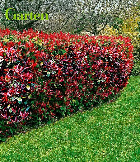 """Mein schöner Garten Photinia Hecken-Set """"Trend"""", 10 Pflanzen"""