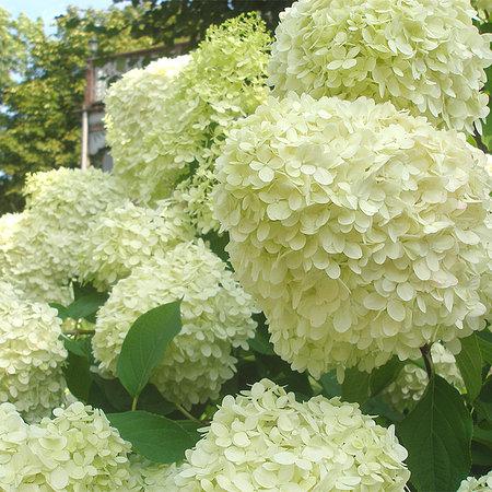 Mein schöner Garten Rispenhortensie 'Limelight'