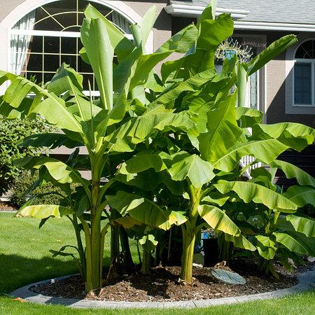 Mein schöner Garten Winterharte Banane 2er-Set