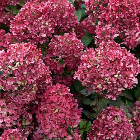 Mein schöner Garten XXL Rispenhortensie