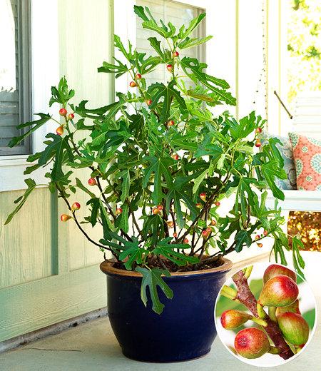 "Mini Feigenbaum ""Little Miss Figgy"",1 Pflanze"
