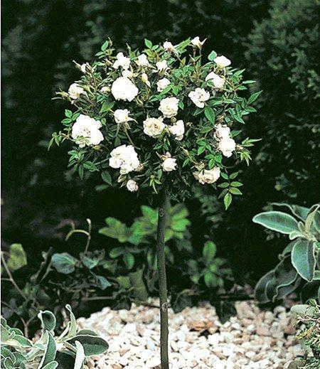 Mini-Stammrose Weiß,1 Pflanze