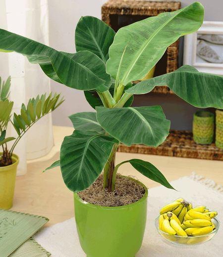 Musa Banana Tropicana;1 Pflanze