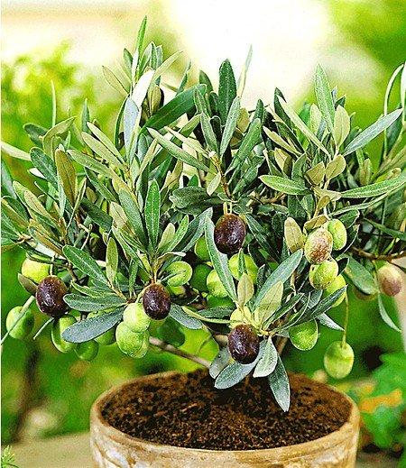 Olive,1 Pflanze Olea europaea Olivenbaum