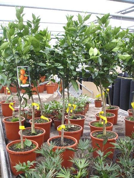Orangenbaum (Lane Late) - Citrus sinensis Lane Late