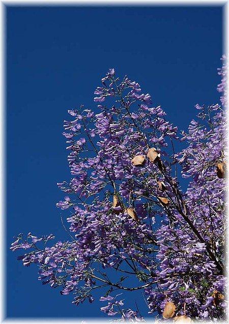 Palisanderbaum Jacaranda mimosifolia