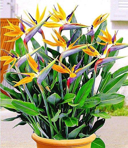 Paradiesvogel-Blume Strelitzie,1 Pflanze Strelitzia reginae