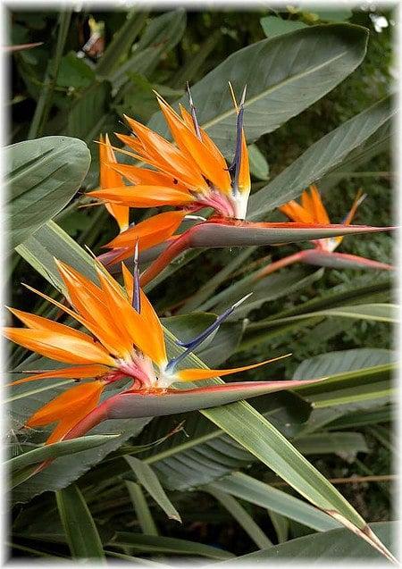 Paradiesvogelblume, Strelitzie Strelitzia reginae