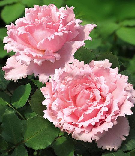 "Parfum-Rose ""Sophie Rochas®"",1Pflanze"