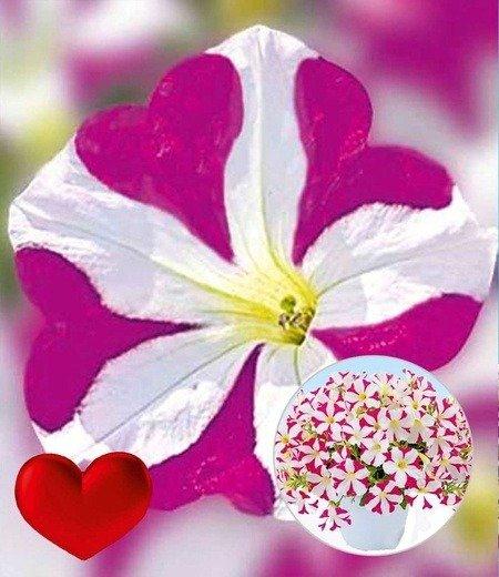 """Petunie """"Amore® Joy"""",3 Pflanzen"""