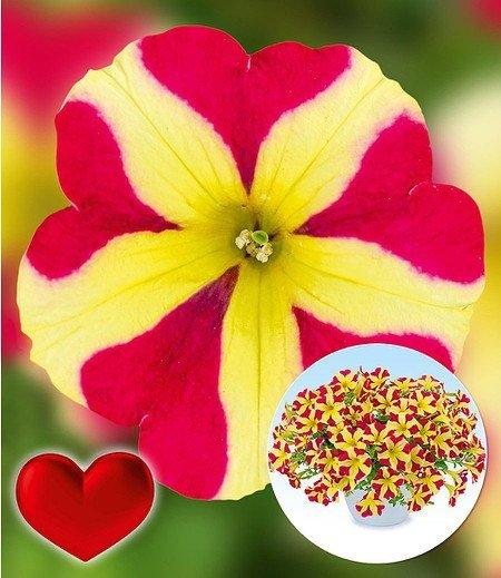 "Petunie ""Amore® Queen of Hearts"",3 Pflanzen"
