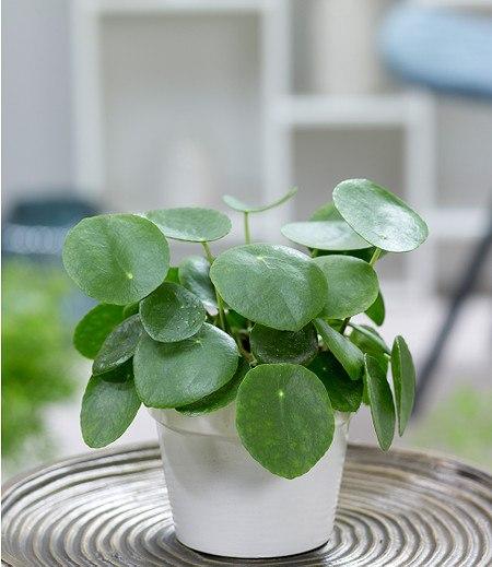 Pfannkuchenpflanze,1 Pflanze