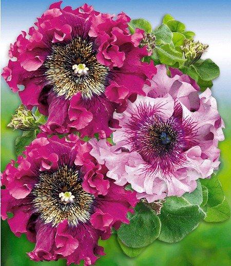 """Pfauenfeder-Petunie """"Superbissima®"""" """"Purple & Pink"""",4 Pflanzen pink"""