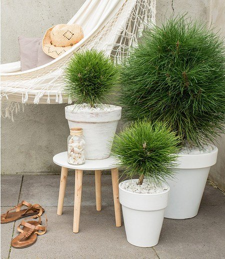 """Pinus """"Summer Breeze""""Kugel,1 Pflanze"""