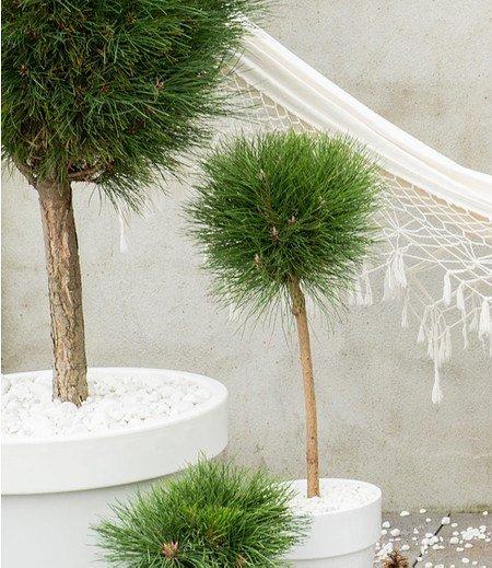 """Pinus """"Summer Breeze""""Stämmchen,1 Pflanze"""