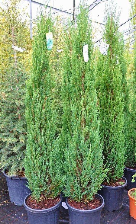 Raketenwacholder (Blue Arrow) - Juniperus scopulorum Blue Arrow