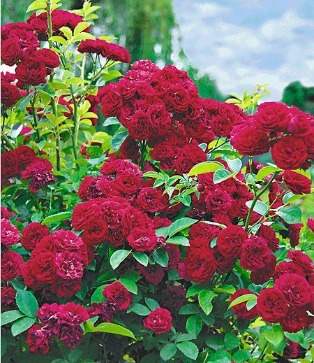 "Rambler-Rose ""Chevy Chase"",1 Pflanze"