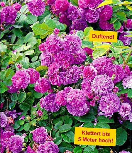 """Rambler-Rose """"Himmelsauge"""",1 Pflanze"""