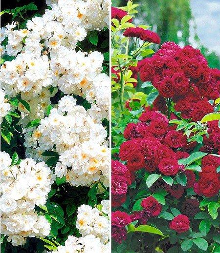 Rambler-Rosen-Kollektion,2 Pflanzen