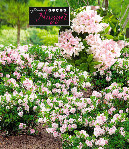 """Rhododendron """"Nugget by Bloombux®"""",1 Pflanze"""