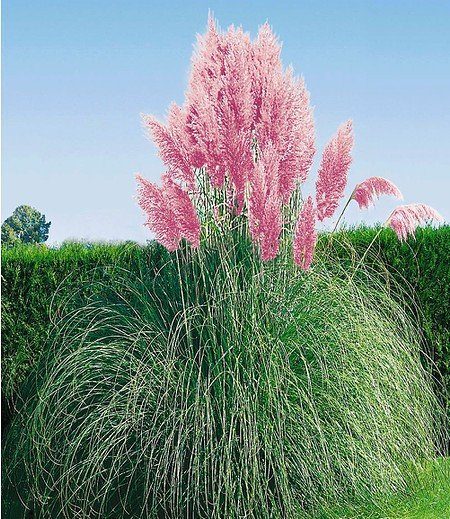 Rosa Pampasgras,1 Pflanze