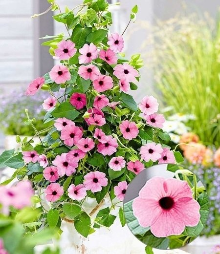 "Rosa Thunbergia ""Pink Surprise"",2 Pflanzen"