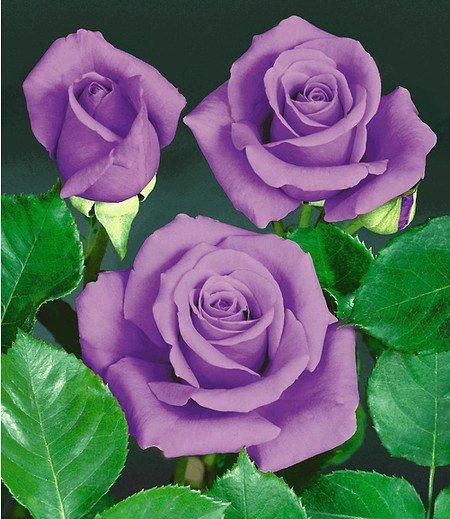"""Rose """"Blue Saphir"""",1 Pflanze"""