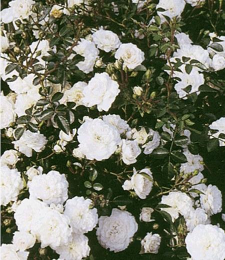 """Rose """"Sea Foam"""",1 Pflanze"""
