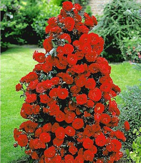 Rote Duft-Strauchrose,1 Pflanze