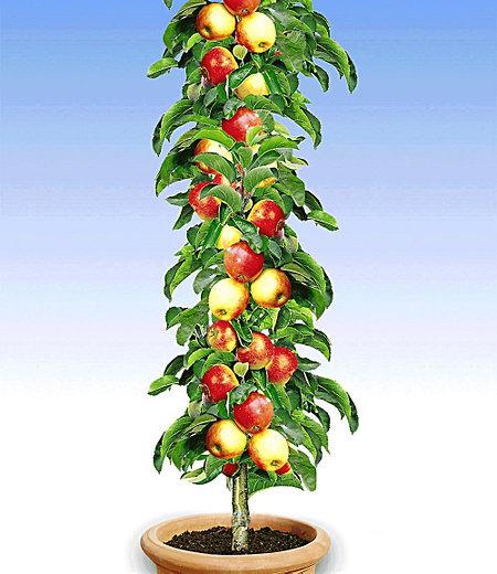 """Säulen-Apfel """"Braeburn"""",1 Pflanze"""