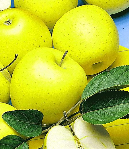 """Säulen-Apfel """"Golden Delicious"""",1 Pflanze"""
