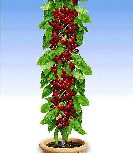 """Säulen-Kirsche """"Stella"""",1 Pflanze"""