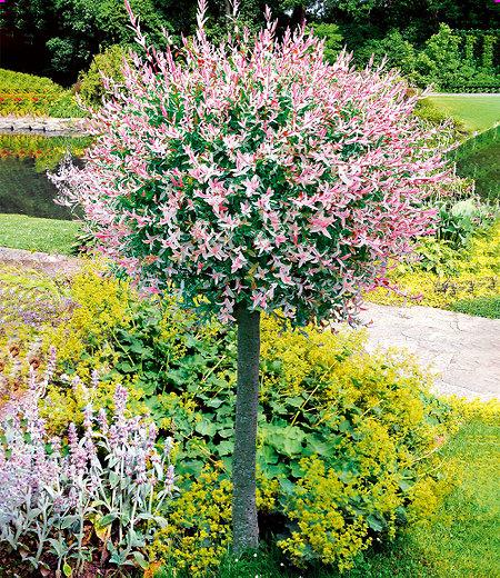 "Salix-Stämmchen ""Hakuro Nishiki"",1 Pflanze"