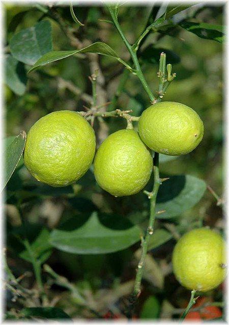 Saure Mexikanische Limette Citrus aurantiifolia