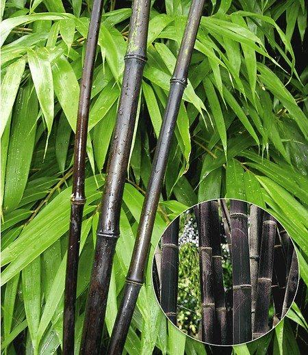 "Schwarzer Bambus ""Black Pearl"", 1 Pflanze"