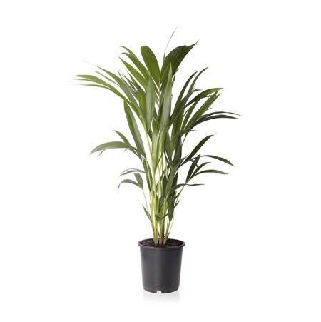 Sense of Home XL Zimmerpflanze Kentiapalme