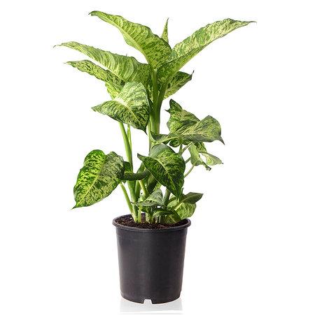 Sense of Home Zimmerpflanze Dieffenbachia Mars