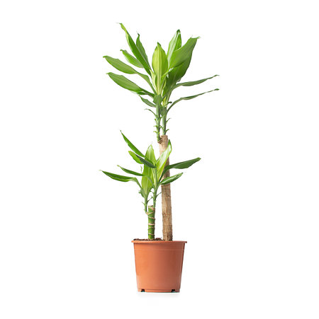 Sense of Home Zimmerpflanze Drachenbaum 'Steudneri'