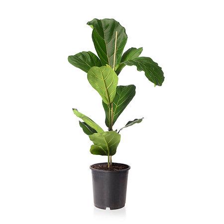 Sense of Home Zimmerpflanze Geigenfeige