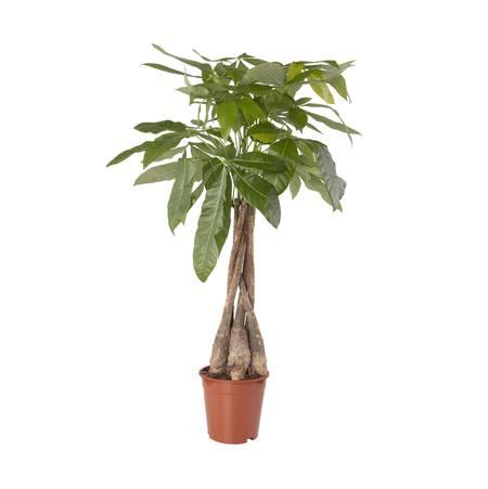 Sense of Home Zimmerpflanze Glückskastanie
